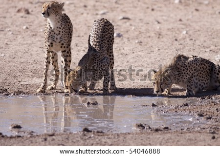 Three Cheetahs drinking water next to each other at a waterhole