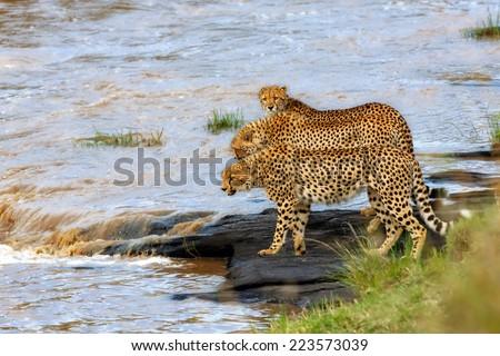 Three Cheetahs like to cross the Talek River in Masai Mara, Kenya - stock photo