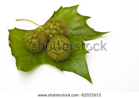 Three chestnuts (conkers) on a leaf with a white background - stock photo
