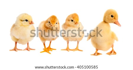 Three chicken and duck. isolated - stock photo
