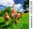 Three Chickens on Green Lawn - stock photo