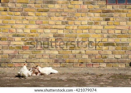 Three Chickens Sleeping Near Colorful Brick Stock Photo 421079074 ...