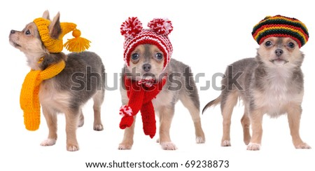 Three chihuahua puppies dressed in Winter and Autumn Clothes isolated on white background - stock photo