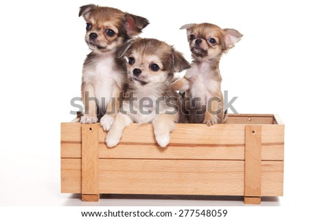 three Chihuahua puppies looking up and sitting in the box (isolated on white) - stock photo