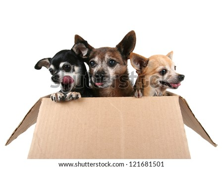 three chihuahuas in a cardboard box