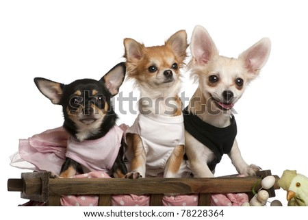 Three Chihuahuas, 1 year old, 8 months old, and 5 months old, sitting in dog bed wagon in front of white background