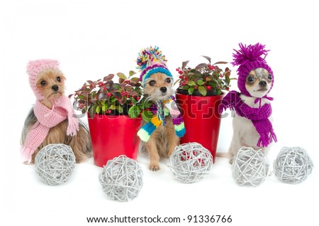 Three Christmas chihuahua dogs with winter scarfs and hats - stock photo