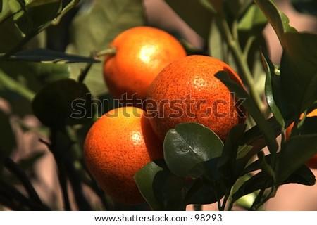 Three citrus fruits ripened on the tree are ready to pick. - stock photo