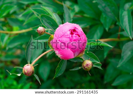 Three closed and one opening bud of a pink peony flower with a drop of water on petals. - stock photo