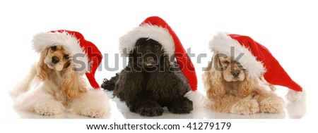 three cocker spaniels wearing santa hats on white background - stock photo