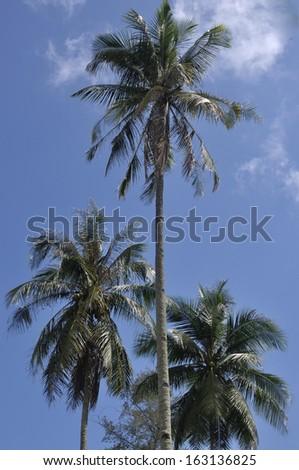 Three Coconut Tree in Daylight - stock photo