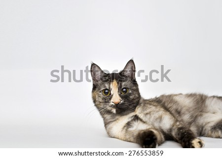 Three color cat lies on white background - stock photo