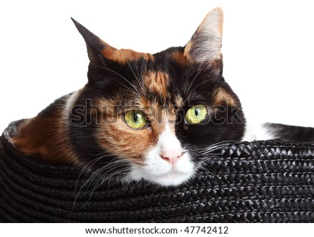 three-color cat  sitting in a basket - stock photo