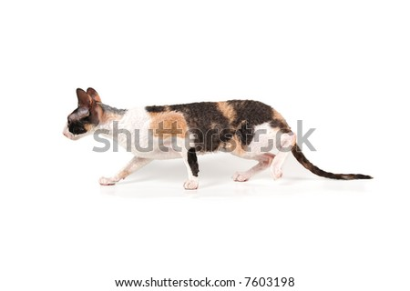 three-color cornish rex cat - stock photo
