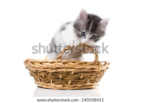 Three-color kitten chewing on the handle basket  isolated on white background - stock photo