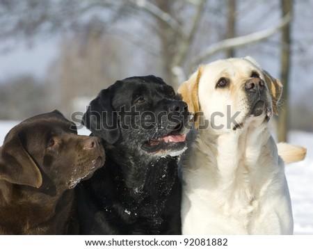 Three color Labradors - stock photo