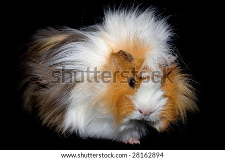 Three color longhair cavy (guinea pig)