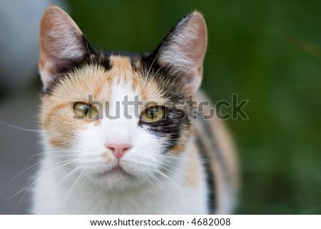three-colored cat closeup - stock photo