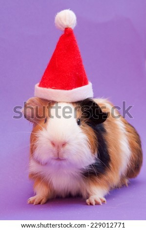 Three-colored guinea pig in Santa Claus hat sitting on lavender background - stock photo