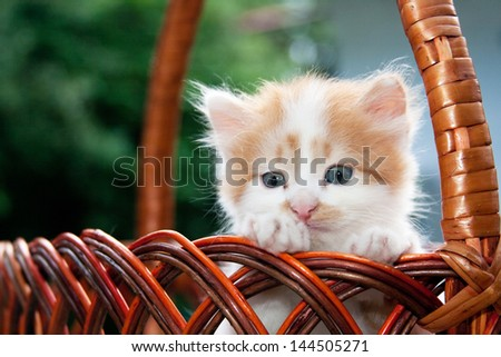 Three-colored kitten sitting in the basket