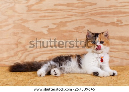 Three colored Persian cat sit and lick its nose on wood floor and background, Persian cat is Origin on Iran (Persia). - stock photo