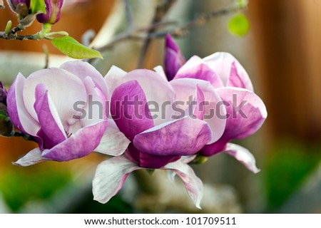 Three colorful blossoms of the Magnolia lilliflora plant - stock photo