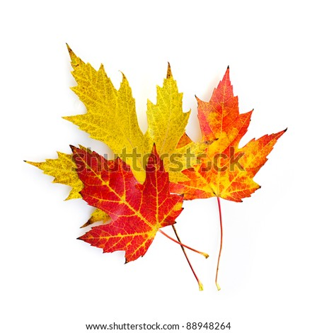 Three colorful fall maple leaves isolated on white background - stock photo