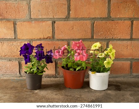 three colorful flowers petunia in potted near the brick wall - stock photo