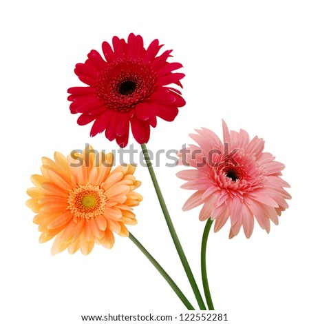Three colorful  Gerber flowers, daisies isolated on white