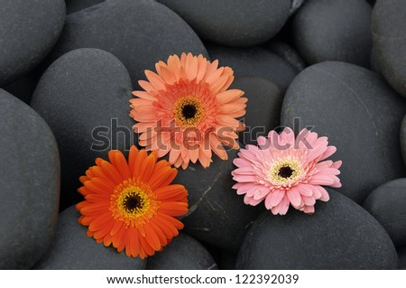 Three colorful gerbera and pebbles