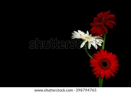Three colorful gerberas in glass bottle on black background. - stock photo
