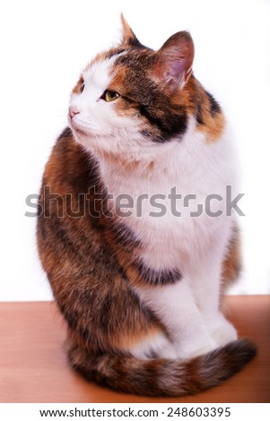 three colors cat standing on a table on a white background