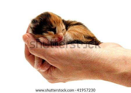Three-coloured kitten lying in hand isolated on white background. Two days from birth - stock photo