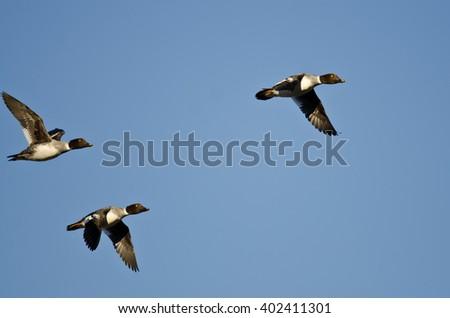 Three Common Goldeneye Ducks Flying in a Blue Sky - stock photo