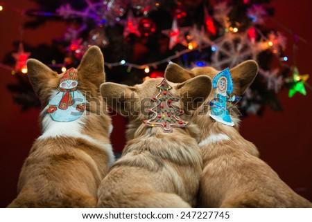 Three corgi puppies sitting by a Christmas tree  - stock photo
