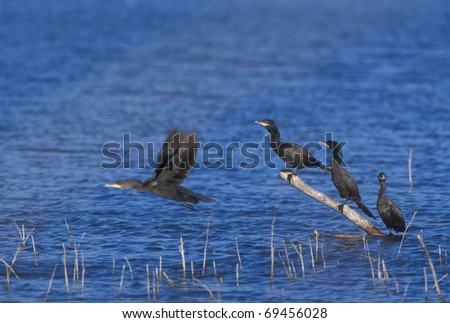 Three Cormorants sitting on a branch protruding from water with a fourth taking flight. - stock photo