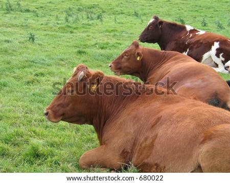 Three cows - stock photo
