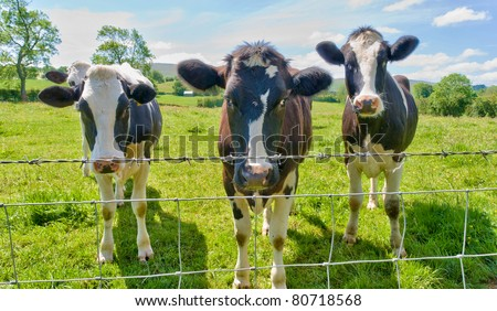Three cows behind a barbed wire fence. - stock photo