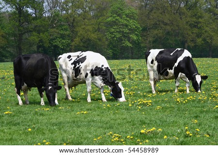 Three cows grazing in a Dandelion covered meadow field in Spring - stock photo