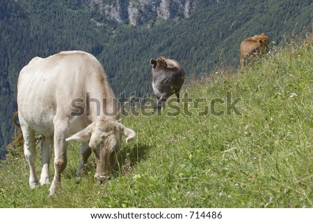 Three cows in a pasture, Alps Mountains, Italy