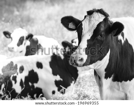 Three cows on field. Black and white - stock photo