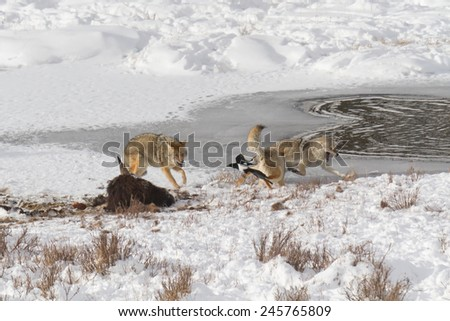 Three coyotes and black-billed magpie fighting over the remains of buffalo meat on frozen pond, Yellowstone National Park. - stock photo