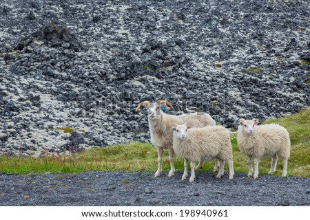 Three curious lambs looking at camera in Iceland over lava background - stock photo