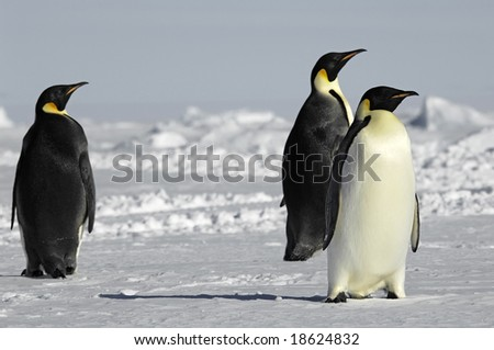 Three curious penguins in Antarctica - stock photo