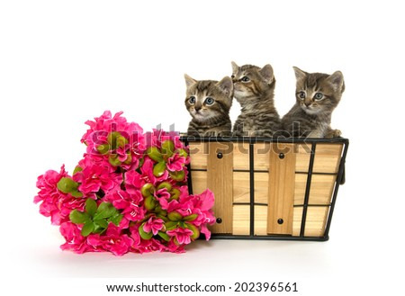 Three cute baby tabby kittens in basket with red flowers on white background
