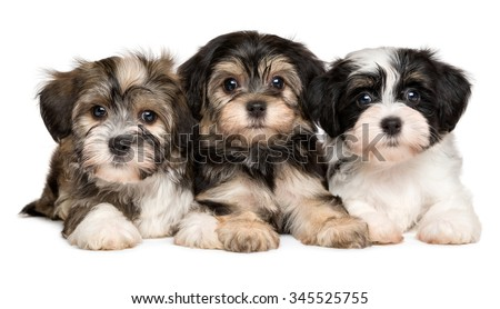 Three cute bichon havanese puppies are lying next to each other and looking at camera, isolated on white background