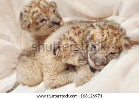 Three cute lions cubs (Panthera leo), two weeks old - stock photo