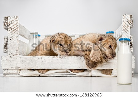 Three cute lions cubs with milk on white wooden  background - stock photo