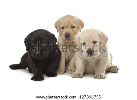 three cute little Labrador Retriever puppies isolated over white background - stock photo