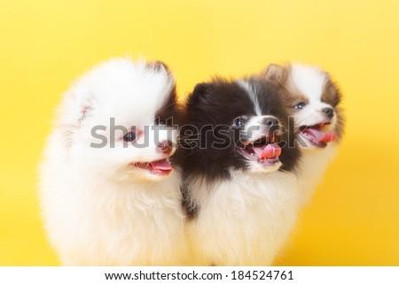 three cute little spitz puppies closeup - stock photo